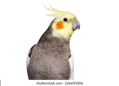 Adult male pretty cockatiel on a white background, isolated