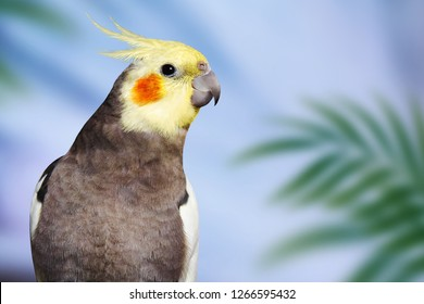 Adult male pretty cockatiel on a blue background with green tropical leaves