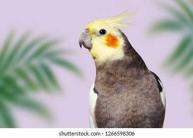 Adult male pretty cockatiel on pink background with green tropical leaves
