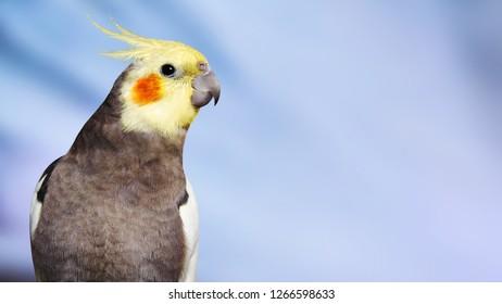 Adult male pretty cockatiel on a blue bokeh background