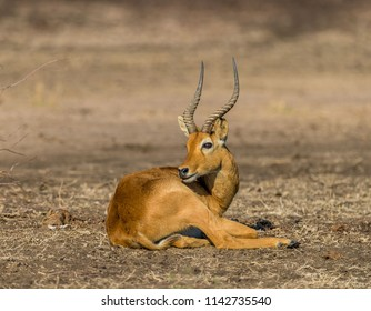Adult male Puku antelope (Kobus vardonii), South Luangwa, Zambia, Africa