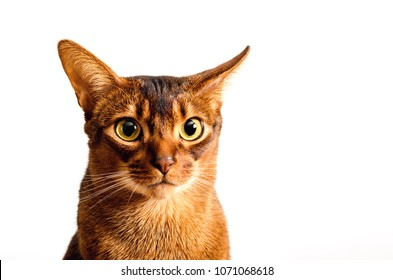 An adult male purebred abyssinian ruddy cat on a white background.