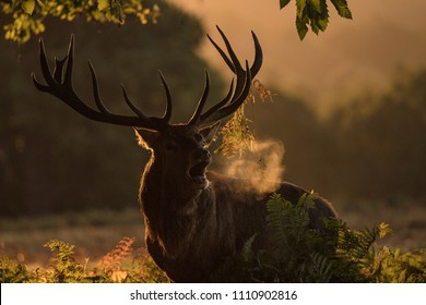 Adult male Red Deer roaring to establish its leadership on the females while exiting the forest in the sunrise light