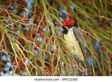 Adult male red and yellow Black-collared Barbet Lybius torquatus feeding on fruits of date palm tree.
