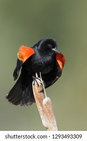 Adult male Red-winged Blackbird (Agelaius phoeniceus) in a swamp in the Kamloops, British Colombia, Canada.