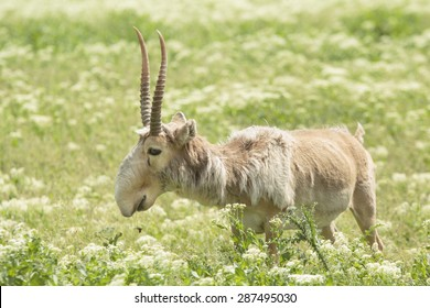adult male saiga stands in the steppe