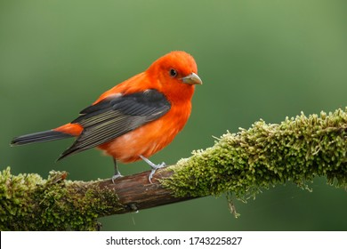 Adult male Scarlet Tanager (Piranga olivacea)  in Galveston County, Texas, United States, during spring migration.