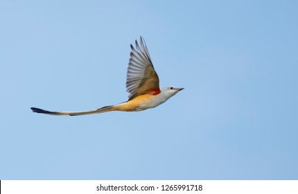 Adult male Scissor-tailed Flycatcher (Tyrannus forficatus) in flight in Chambers Co., Texas, USA, during autumn.