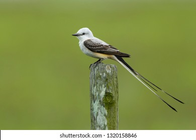 Adult male Scissor-tailed Flycatcher (Tyrannus forficatus) perched on a wooden pole in Galveston Co., Texas, USA.
