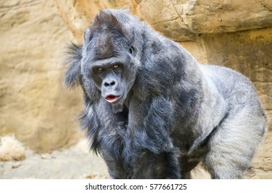 An adult male silverback western lowland gorilla.