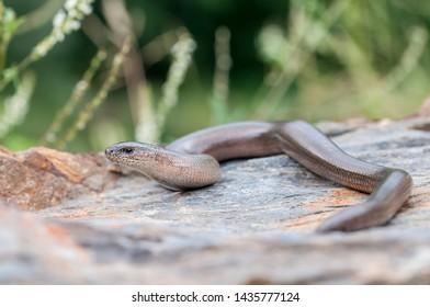adult male Slow worm, Anguis fragilis,