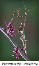 An adult male Texas unicorn mantis is perched on a budding tree branch.