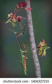 An adult male Texas unicorn mantis is climbing a branch of a budding maple tree.