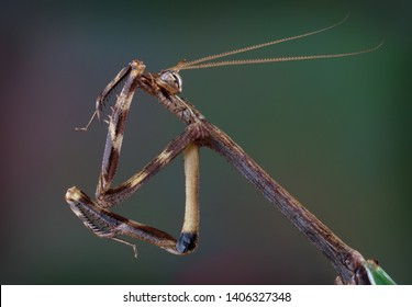 An adult male Texas unicorn mantis is cleaning his front leg.