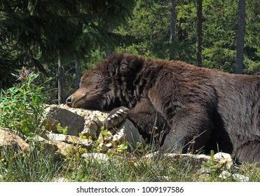 Adult male ursus resting on the rocks at sunny day