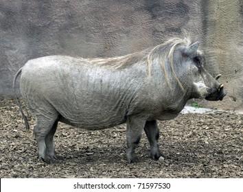 Adult Male Warthog