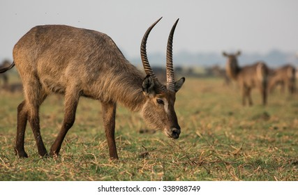 An adult male waterbuck grazing on grassland with female waterbuck in the background, Chobe National Park, Botswana, Africa.