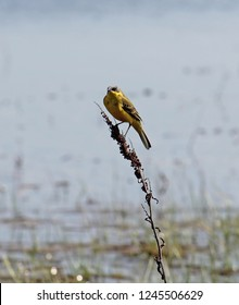 Adult male Western yellow wagtail or blue-headed wagtail (Motacilla flava var. dombrovskii). Polesie, Southern Belarus