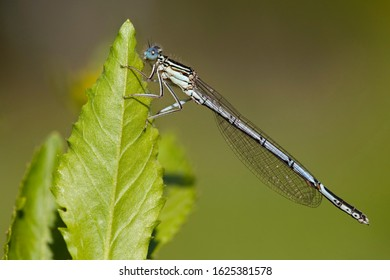 Adult male White-legged Damselfly (Platycnemis pennipes) resting on a green leaf at the Kampina in the Netherlands.
