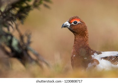 Adult male Willow Grouse (Lagopus lagopus koreni) in the Ural mountains of Russia. Bird in summer plumage walking on russian moorland. - Shutterstock ID 1230808717