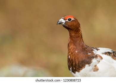 Adult male Willow Grouse (Lagopus lagopus koreni) in the Ural mountains of Russia. Bird in summer plumage walking on russian moorland. - Shutterstock ID 1230808723