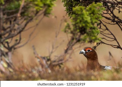 Adult male Willow Grouse (Lagopus lagopus koreni) in the Ural mountains of Russia. Bird in summer plumage walking on russian moorland. - Shutterstock ID 1231251919