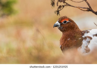 Adult male Willow Grouse (Lagopus lagopus koreni) in the Ural mountains of Russia. Bird in summer plumage walking on russian moorland. - Shutterstock ID 1231251925