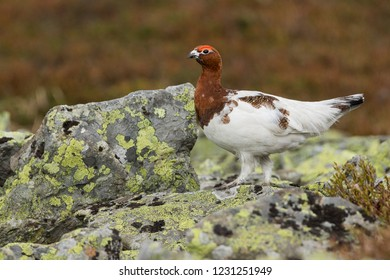 Adult male Willow Grouse (Lagopus lagopus koreni) in the Ural mountains of Russia. Bird in summer plumage walking on russian moorland. - Shutterstock ID 1231251949