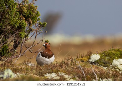 Adult male Willow Grouse (Lagopus lagopus koreni) in the Ural mountains of Russia. Bird in summer plumage walking on russian moorland. - Shutterstock ID 1231251952
