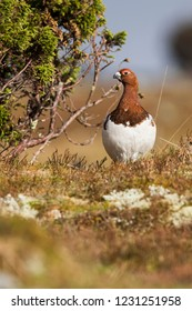 Adult male Willow Grouse (Lagopus lagopus koreni) in the Ural mountains of Russia. Bird in summer plumage walking on russian moorland. - Shutterstock ID 1231251958