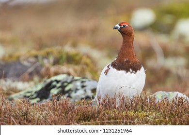 Adult male Willow Grouse (Lagopus lagopus koreni) in the Ural mountains of Russia. Bird in summer plumage walking on russian moorland. - Shutterstock ID 1231251964