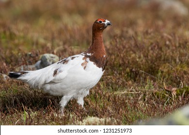 Adult male Willow Grouse (Lagopus lagopus koreni) in the Ural mountains of Russia. Bird in summer plumage walking on russian moorland. - Shutterstock ID 1231251973