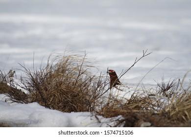 Adult male willow ptarmigan (Lagopus lagopus) hiding among willow branches near Arviat, Nunavut Canada