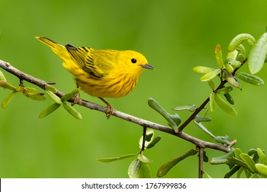 Adult male Yellow Warbler (Setophaga aestiva) during spring migration at Galveston County, Texas, USA.