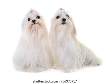 adult maltese dog in front of white background