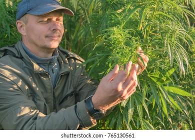 Adult man in a cap touches cannabis leaf on a hemp field