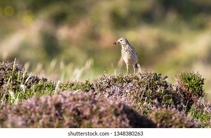 An adult meadow pipit (Anthus pratensis) holds an orange bug in its mouth while perched on dense shrubs in the Oa Nature Reserve on the island of islay, Scotland.