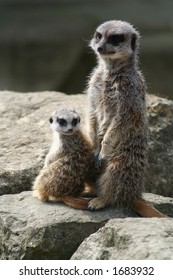 An adult meerkat and kit sit vigilant on a rock