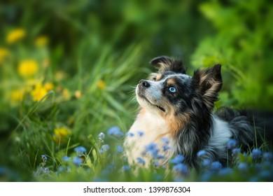 Adult miniatur australian shepherd dog lying in a flower meadow