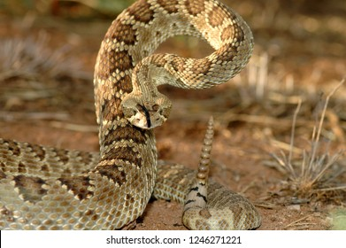 An adult mojave rattlesnake in a defensive stance.