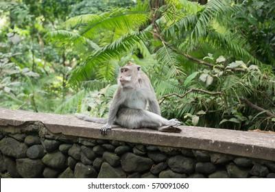 Adult monkey chilling. Monkey forest, Bali