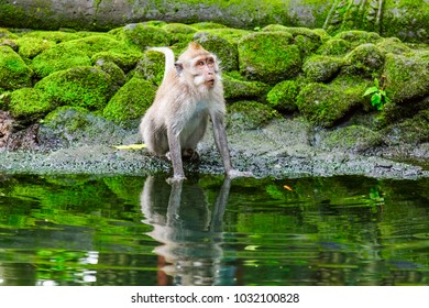Adult monkey near water in Monkey Forest, Ubud, Bali, Indonesia