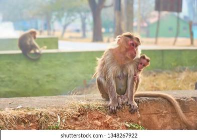Adult monkey with scared baby monkey are sitting, Bandipur national park, Karnataka, India