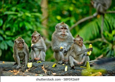 Adult monkeys sits and eating banana fruit in the forest. Monkey forest, Ubud, Bali, Indonesia.