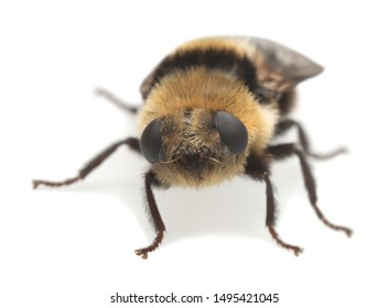 Adult moose nose botfly, Cephenemyia ulrichii isolated on white background. These flies are parasitic on moose and other deers for their larvae and can sometimes in rare cases attack human eyes.