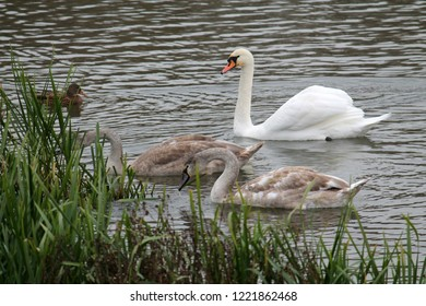 Adult Mute swan or Cygnus olor with two cygnets in juvenile plumage