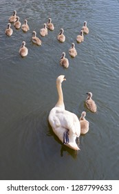 An adult mute swan and many cygnets. Parents and children in a wild life.