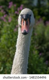 Adult mute swan portrait front facing