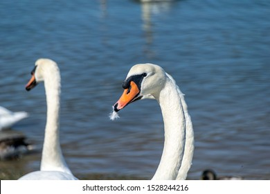 Adult mute swans swimming across the River Crouch from South Woodham Ferrers to Hullbridge, Essex, UK