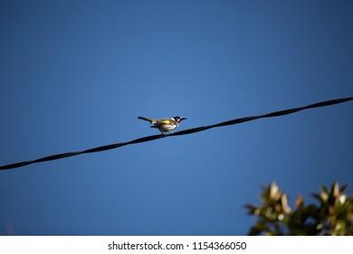 Adult New Holland Honeyeater Bird on overhead powerline